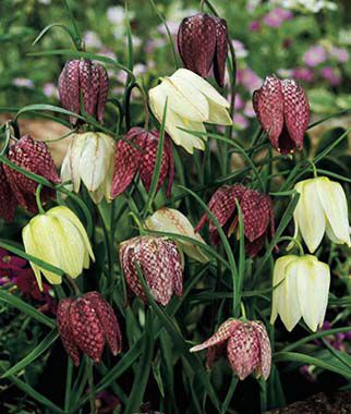 Checkered Lily, Fritillaria meleagris, , large