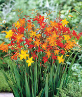 Crocosmia, Mixed, , large