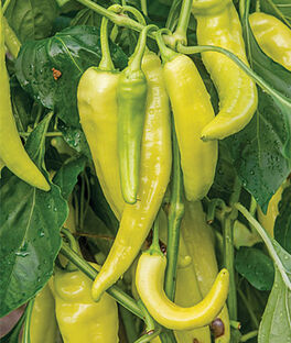 Pepper, Hot, Blazing Banana Hybrid, , large