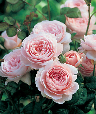 English Rose, Queen of Sweden , , large