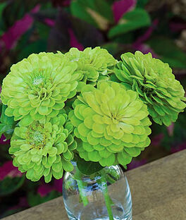 Zinnia, Envy , , large