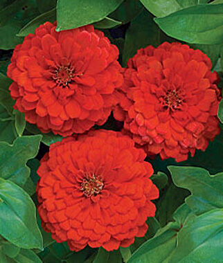 Zinnia, Big Red, , large