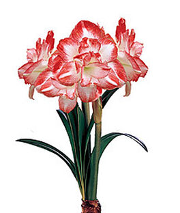 Amaryllis, Blossom Peacock Double, , large