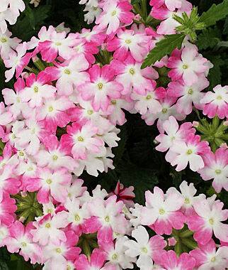 Verbena, Twister Pink 3 Plants, Annuals, Annual Flowers, Annual Flower Plants, Flower Plants, Flowering Annuals, Bedding Plants