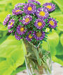 Aster, Purple Burst, , large