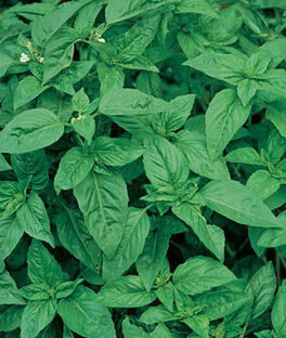 Basil, Sweet Organic, , large
