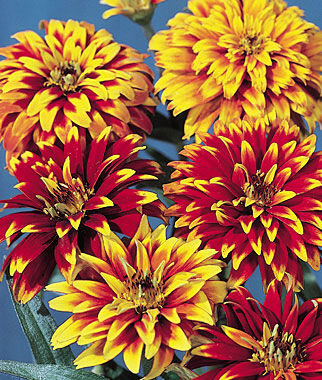 Old Mexico Zinnia Seeds And Plants Annual Flower Garden