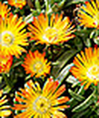 Delosperma, Orange Wonder , , large