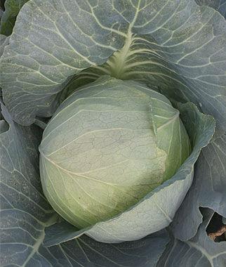 Cabbage, Brunswick 1 Pkt.(260 Seeds), Cabbage Seeds, Cabbage Seeds, Cabbages Seed, Cabage Seeds, Cabbage, Garden Seeds, Vegetable Seeds