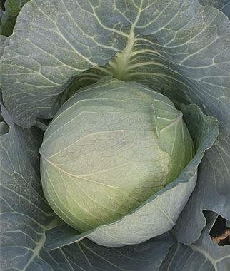 Cabbage, Brunswick, , large