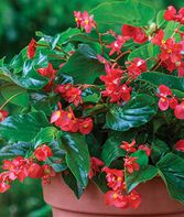Begonia, Dragon Wing™  Hybrid, , large