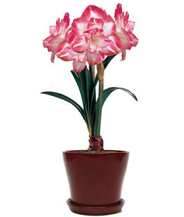 11221R-Amaryllis Elvas in Red Pot, , large