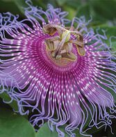 Passionflower, Maypops, , large