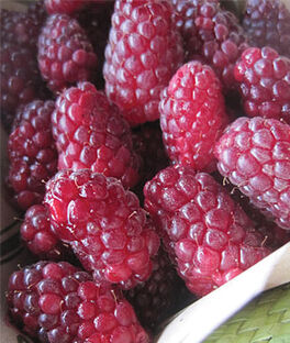 Tayberry, Blackberry-Raspberry, , large
