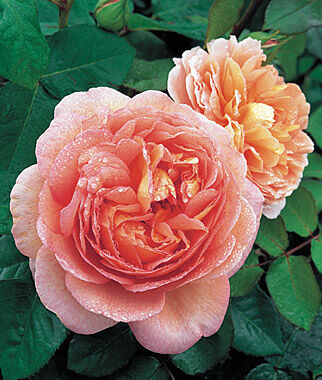Rose, Abraham Darby, , large