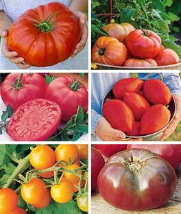 Tomato Lovers Plants Gift Collection, , large