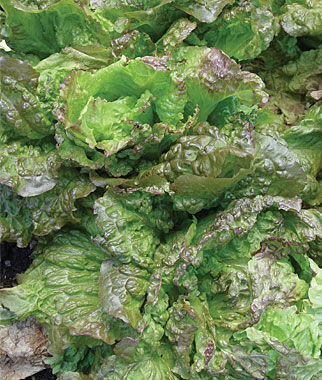 Lettuce, Red Grenoble, , large