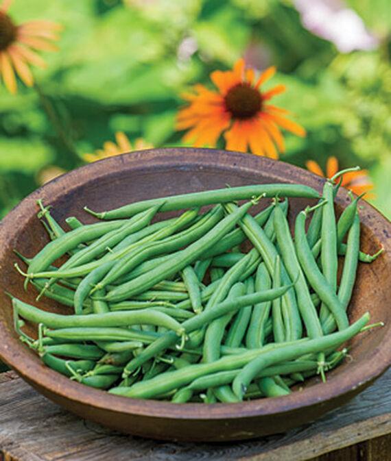 Bean, Prevail 1 Pkt. (200 seeds) Bean Seeds, Bush Beans, Beans - Bush, Bush Bean Seeds, Vegetable Seeds, Garden Seeds, Vegetable Seed