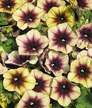 Petunia, Cascadia Autumn Mystery 3 Plants, Annuals, Annual Flowers, Annual Flower Plants, Flower Plants, Flowering Annuals, Bedding Plants