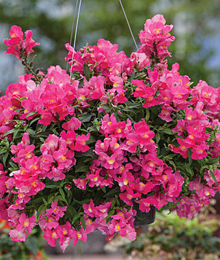 Snapdragon, Candy Showers Rose 3 Plants, Annuals, Annual Flowers, Annual Flower Plants, Flower Plants, Flowering Annuals, Bedding Plants