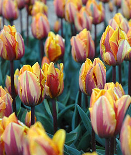 Tulip, Princess Margaret, , large