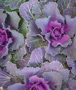 Flowering Kale, Song Bird Red , , large
