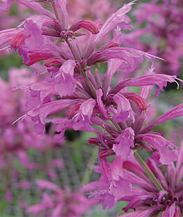 Agastache, Pink Pop, , large