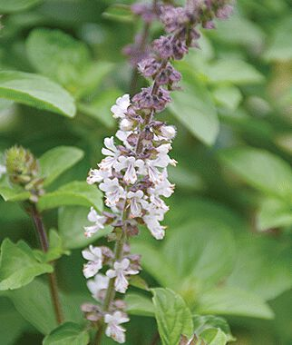 Flowering Basil, Snow White , , large