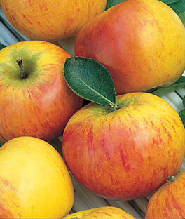 Apple, Cox's Orange Pippin, , large