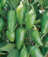 Pepper, Hot, Jalapeno M, , large