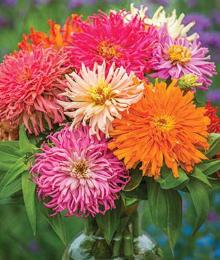 Zinnia, Burpeeana  Giants Mix, , large
