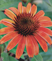 Echinacea, Sundown PPAF, , large