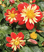 Dahlia, Showtime, , large