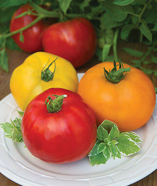 Tomato Hybrid Collection, Kings of Color 3 Pkts., Tomatoes, Tomato Seeds, Beefsteak Tomatoes, Slicing Tomatoes, Tomato Starts, Tomato Plants