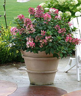Hydrangea paniculata, Little Quick Fire , , large