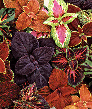 coleus, giant leaf mix  coleus at burpee, Beautiful flower