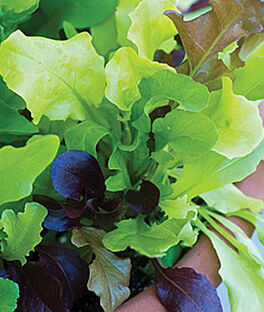 Lettuce, Alfresco Mix, , large