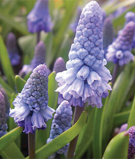 Muscari, Azureum, , large