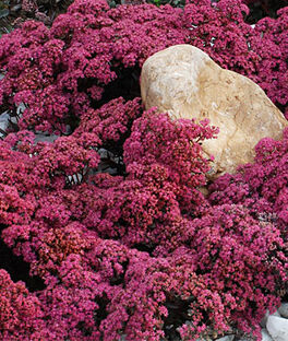 Sedum, Sunsparkler Dazzleberry, , large