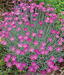 Dianthus, Firewitch, , large