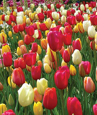 Tulip, Single Late Mix, , large