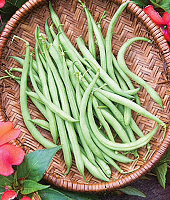 Bean, Mascotte 1 Pkt. (200 seeds), Bean Seeds, Bush Beans, Beans - Bush, Bush Bean Seeds, Vegetable Seeds, Garden Seeds, Vegetable Seed