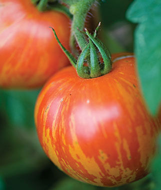 Tomato, Red Lightning Hybrid , , large