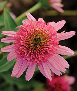 Echinacea, Double Scoop Bubble Gum, , large