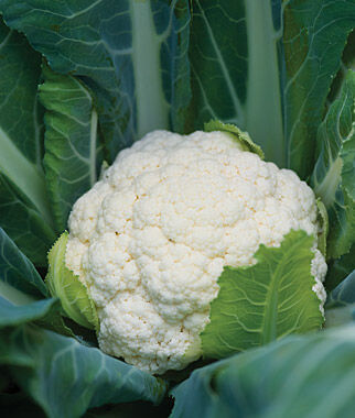 Cauliflower, Attribute Hybrid, , large
