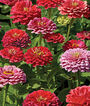 Zinnia, Exquisite, , large