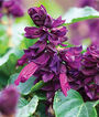 Salvia, Lighthouse Purple , , large