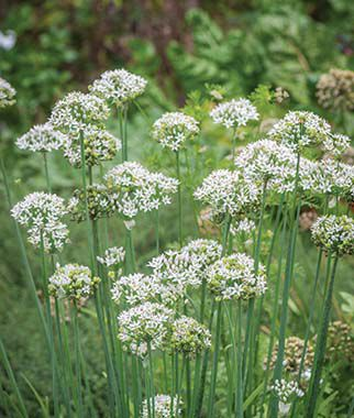 Chives, Garlic Geisha Organic, , large