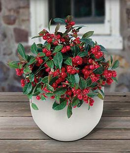 Herb, Wintergreen with Ceramic Pot, , large