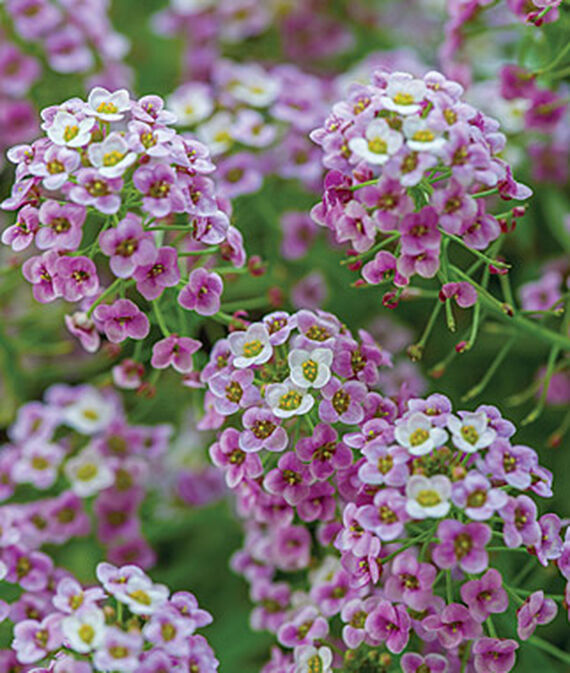 Lobularia, Bicolor Pink Stream 3 Plants, Annuals, Annual Flowers, Annual Flower Plants, Flower Plants, Flowering Annuals, Bedding Plants